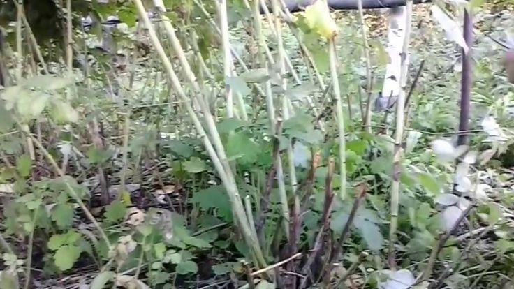 Уход за малиной  Как выращивать и ухаживать за малиной осенью
