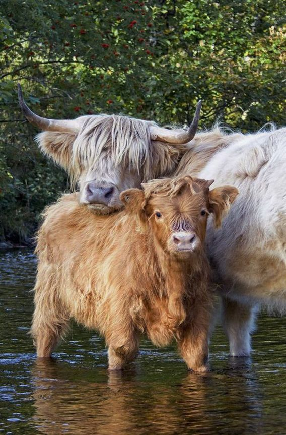 A highland cow and her calf cooling off in the river.