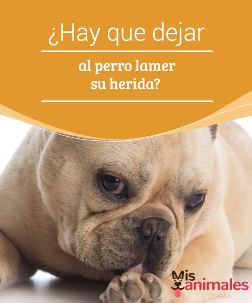 ¿Hay que dejar al #perro #lamer su herida? Los canes y otros #animales suelen pasar repetidamente su #lengua sobre áreas de su cuerpo que presentan alguna zona lastimada. Con esta acción suelen aliviar el dolor o la #picazón que sienten.