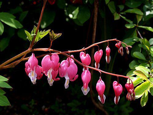 5/28 ケマンソウ(学名 Lamprocapnos spectabilis)はケマンソウ亜科の多年草。観賞用によく栽培され、花色は桃色のほかに白がある。別名タイツリソウともいう。ケマンは仏具の華鬘から。      華鬘草  全草、特に根茎と葉にビククリン、プロトピンなどを含む。誤食した場合、嘔吐・下痢・呼吸不全・心臓麻痺などを引き起こす。  真正双子葉類 eudicots 目:キンポウゲ目 Ranunculales 科:ケシ科 Papaveraceae 亜科:ケマンソウ亜科 Fumarioideae 属:ケマンソウ属 Lamprocapnos 種:ケマンソウ L. spectabilis 学名 Lamprocapnos spectabilis (L.) Fukuhara[1] シノニム Dicentra spectabilis (L.) Lem. Fumaria spectabilis L. 和名 ケマンソウ タイツリソウ(鯛釣草)