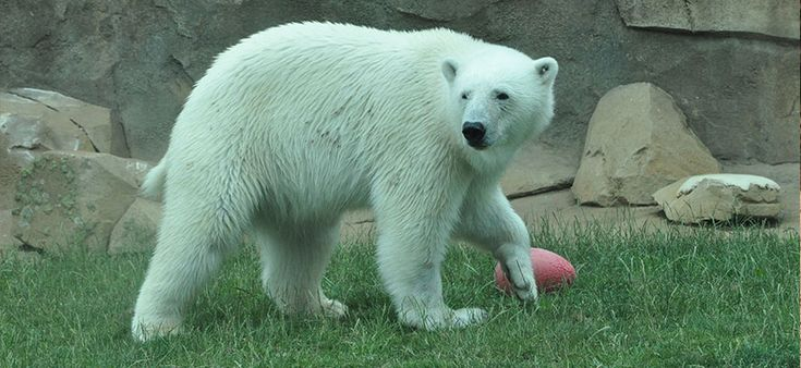 Qannik's 5th Birthday Party! - Louisville Zoo.  Visit the Louisville Zoo as we gather round to celebrate polar bear Qannik's 5th birthday! The party will take place at 11 a.m. on Saturday, Jan. 9, 2016 with a cake just for Qannik and special birthday enrichment toys. Families will get to sign Qannik's bear-sized birthday card and sing Happy Birthday. Qannik was rescued from the wild and is a great ambassador for her species and arctic conservation. Her exact birthdate is unknown but…
