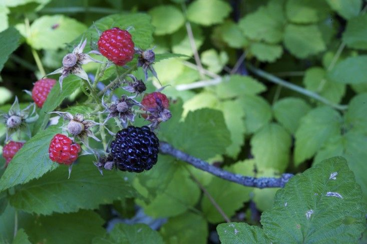 A hard pruning made our black raspberries more prolific this month—and for once, the birds and chipmunks did not make off with every last one. I used the berries as topping for a delicious cornmeal skillet cake.