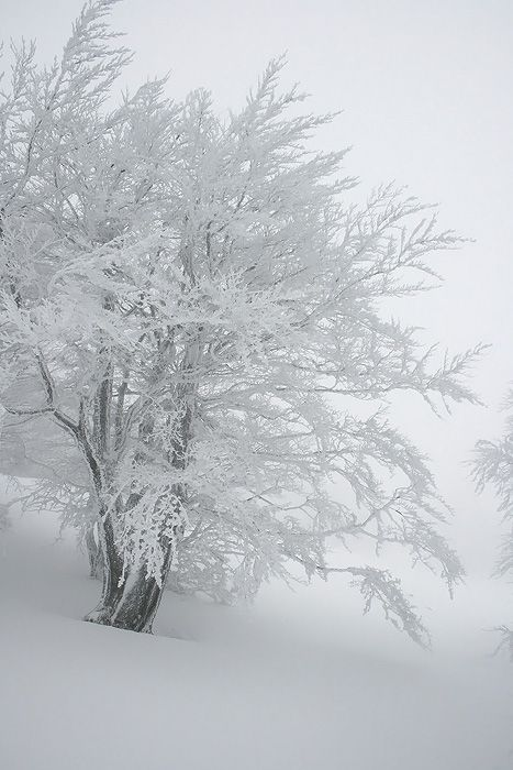 Winter beech tree - Alps, France
