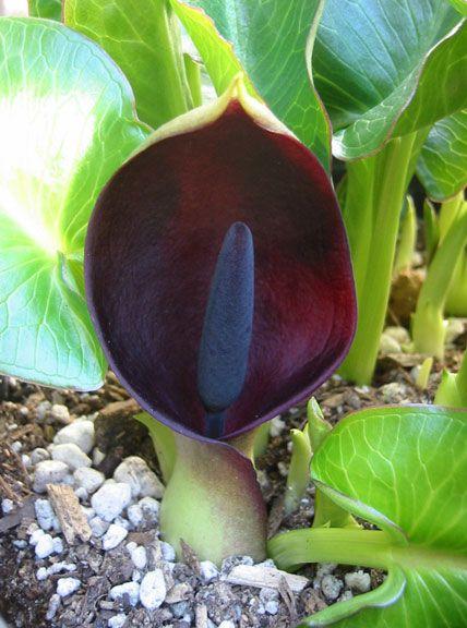 Arum: Arum Pictum, Constant Gardens, Purple Arum, Gardens Tricks, Gardens Flow, Gardens Dreams, Goth Gardens, Gardens Growing