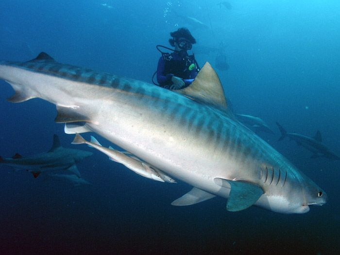 Tiger Shark   info tiger shark: Information About Tiger Sharks
