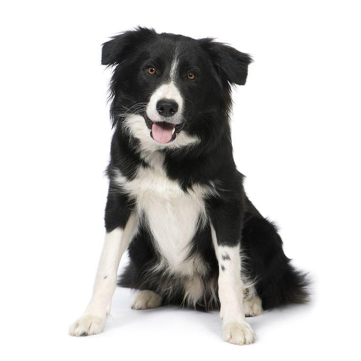 Border Collie: Docile et obéissant, mais souvent hyperactif. Il est donc important de lui offrir de grands espaces pour dépenser son énergie! | Plus d'info: http://www.eleveurs-online.com/standard,race,chiens,border-collie.html