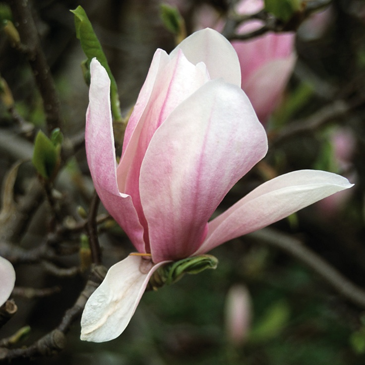 90 best images about magnolias on pinterest trees white flowers and shrubs. Black Bedroom Furniture Sets. Home Design Ideas