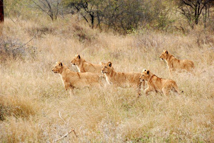 Lion cubs, Kruger National Park