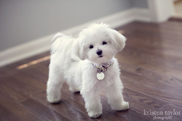 Kristen Taylor Photography Blog Maltese dogs, Dog