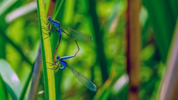 The season of love - dragonfly