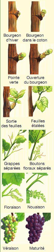 Cycle végétatif de la vigne