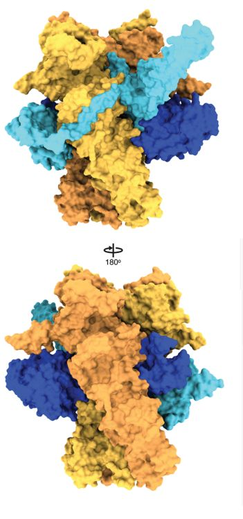 Protein folding: Much more intricate than we thought Image of the chaperone HSP90 with a client kinase
