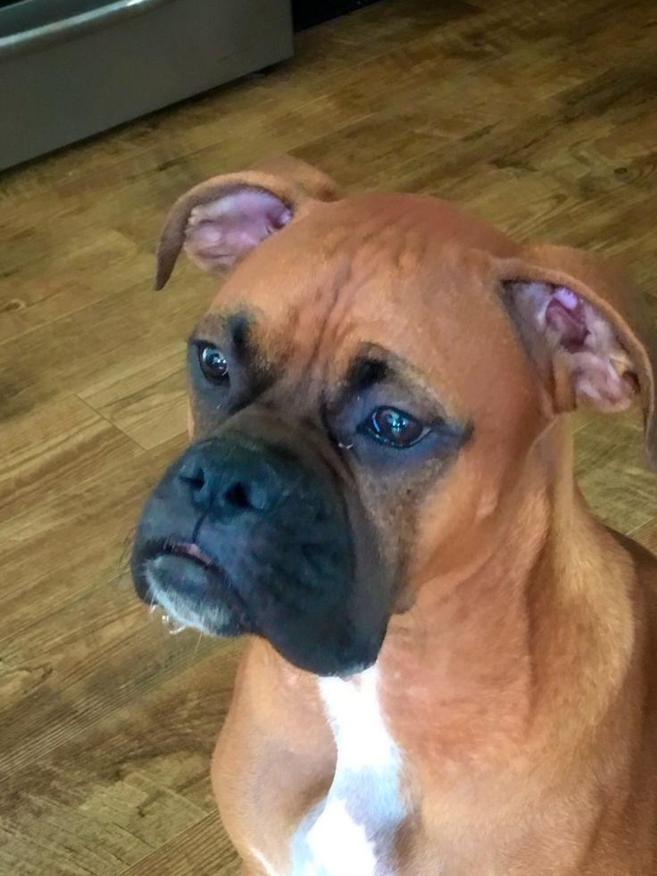 les 797 meilleures images du tableau boxer chien sur pinterest allen walker amour boxeur et bow. Black Bedroom Furniture Sets. Home Design Ideas