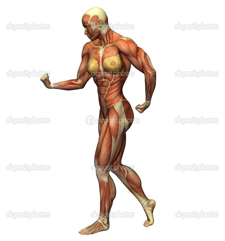 muscle anatomy | Muscles and anatomy of a woman on a white ...