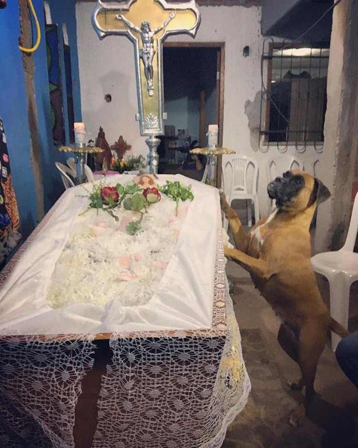 El conmovedor mensaje de un hijo que explica la reacción de su perro al perder a su madre    Esta perra bóxer mostró su fidelidad a su querida dueña hasta el último momento. El hijo de la fallecida quiso escribir un enternecedor mensaje de despedida. #perro #perros #boxer #boxers #noticia #funeral #entierro