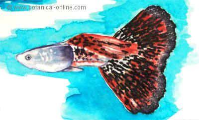 Dibujo de pez guppy
