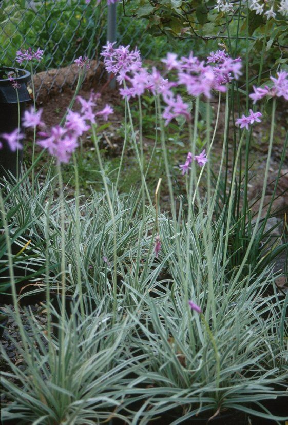 Plant photo of: Tulbaghia violacea 'Silver Lace'