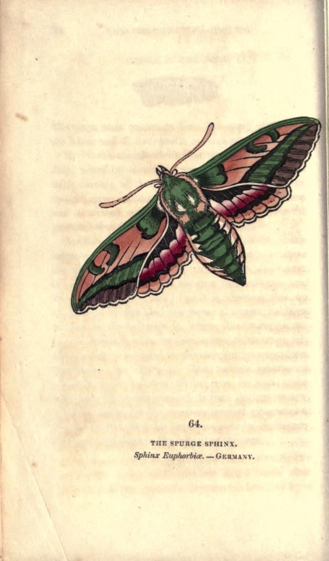 Spurge Sphinx (Sphinx euphorbiae). The book of butterflies, sphinxes and moths v.2 London,Whittaker,1832-34. Biodiversitylibrary. Biodivlibrary. BHL. Biodiversity Heritage Library