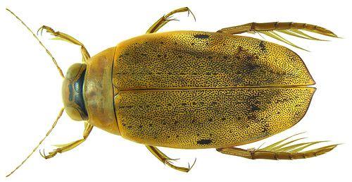 Eretes australis (Erichson, 1842) female