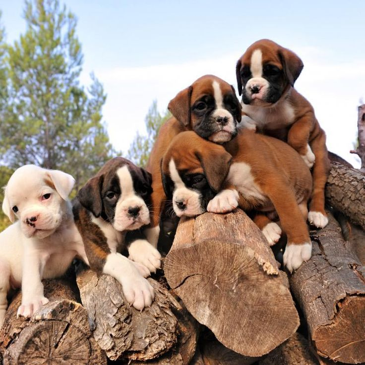 Boxer Puppies                                                                                                                                                                                 Más