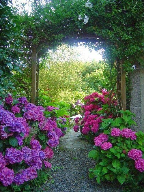 Through The Hydrangeas....