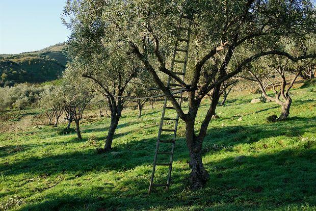 Παρόλο που όλοι αναγνωρίζουν την αξία και σπουδαιότητα του δέντρου της ελιάς, πολύ φοβάμα�%B