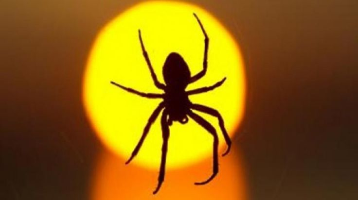 Spider that causes 4-hour erection leading to death forces family to flee home