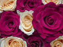 Красная и желтая флористическая предпосылка роз для открытки, календаря Стоковая Фотография