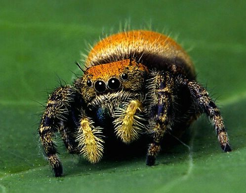 Cute jumping spider - photo#20