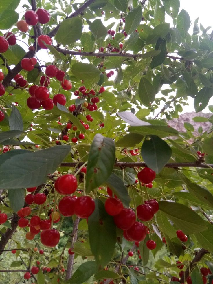 #Nature #Red #Green #SourCherry