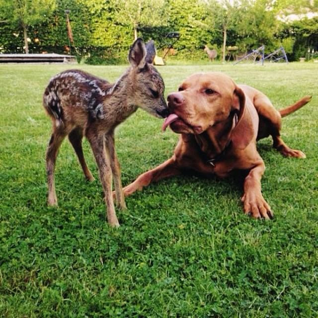 Best Friends Dog And A Baby Deer Playing Together In The