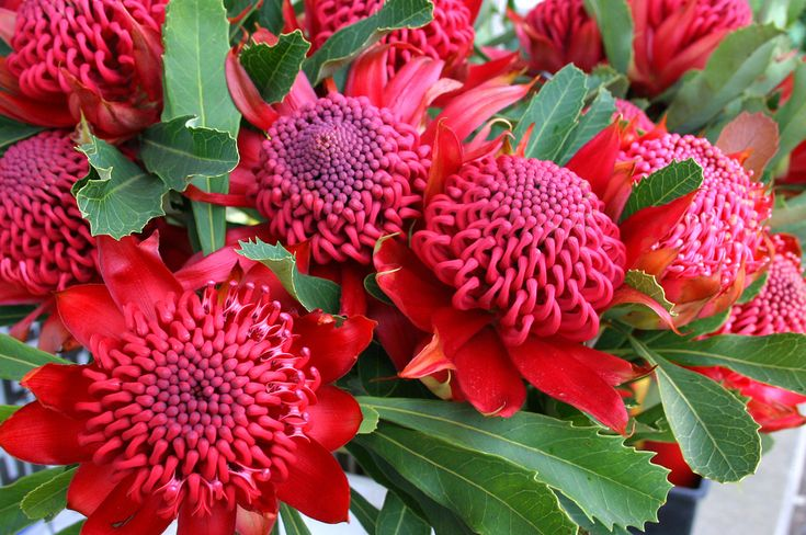Telopea speciosissima - state flower of New South Wales, beautiful cut flower #waratah