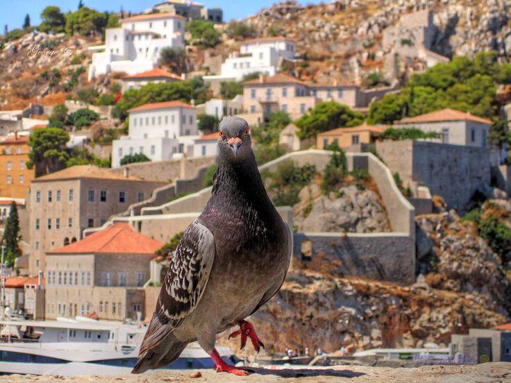 https://flic.kr/p/FhA7ov | Birds in Greece - Look into my eyes |   #πουλιά #πτηνά #bird #birds #life #wild #wetland #Greece #Flight #flying #Beautiful #Nature #world #υγροβιότοπος #πετάω #φύση #animals #Greece #Ελλάδα #Macedonia #Photography #George  #eyes #@ #papaki #BirdsinGreece  #visitgreece #greekphotographers #europeanphotography #naturephotography #sea  #θάλασσα #water #feather #φτερό #περιστέρι #περιστέρια #pigeon  #dove #peace