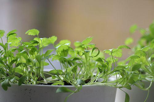 Podrobný postup jak pěstovat bylinky doma, ze semen a po té je mít v truhlíku, květináči na balkoně, nebo pokud máte zahrádku tak na záhoně