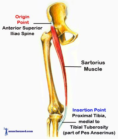 "Sartorius - most superfical muscle of the anterior compartment of the thigh. ASIS into medial aspect of tibia at pes anserinus (middle insertion). Acts to hip flex and abduct ""crossing leg muscle"""