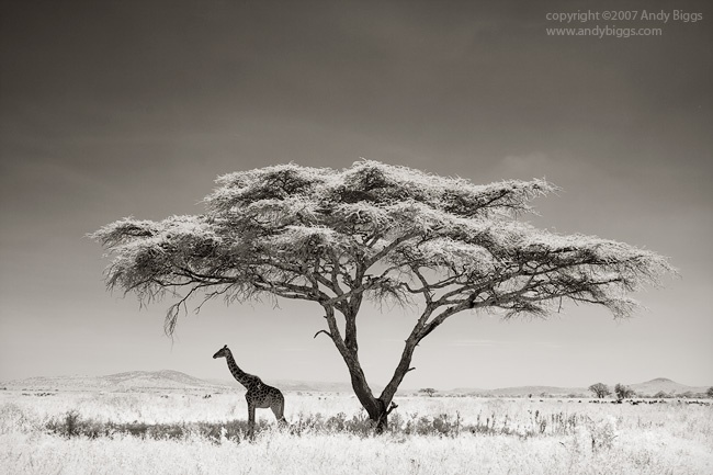 Giraffe Under and Acacia Tree