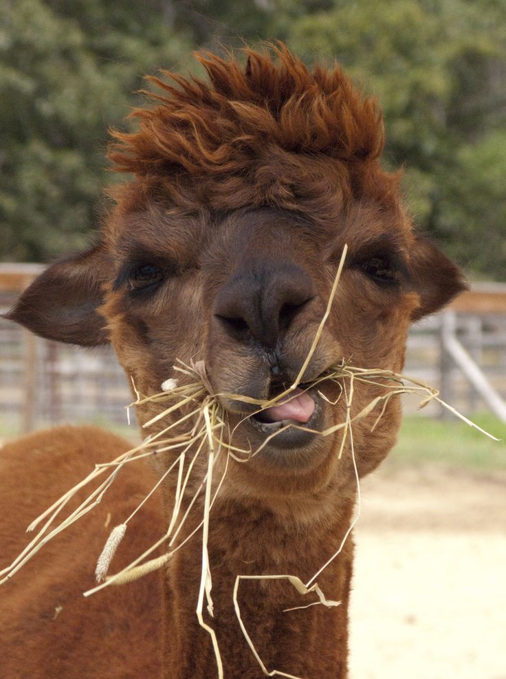 All the alpaca facts you need.