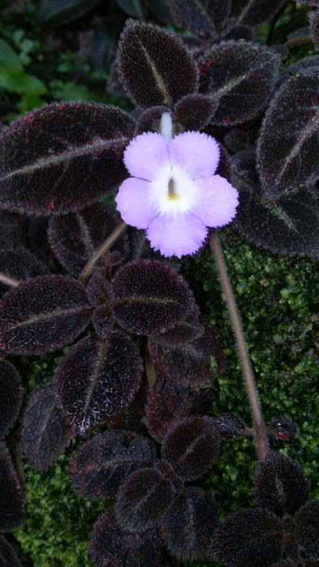 1000 images about episcia on pinterest shops pink flowers and