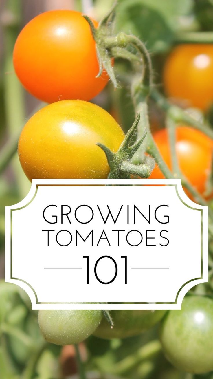 Want to grow better tomatoes this year? Here's a great guide to growing tomato plants successfully. Also talks about the difference between bush and vine or determinate vs indeterminate and other great ideas and details for improving your vegetable garden.