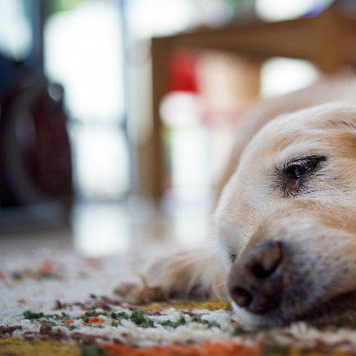 #Atemnot und Husten sind Anzeichen für Herzprobleme beim Hund - Lippische Landes-Zeitung: Lippische Landes-Zeitung Atemnot und Husten sind…