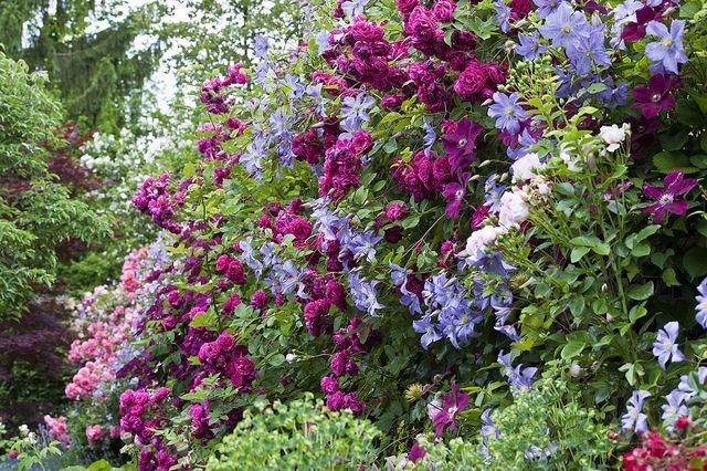 blue rambler rose google search ornamental garden jan. Black Bedroom Furniture Sets. Home Design Ideas