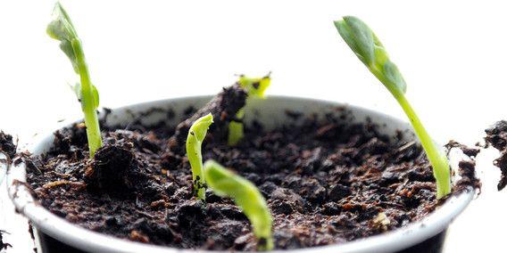 erwt erwten kweken groeien vers verse groenten moetuin