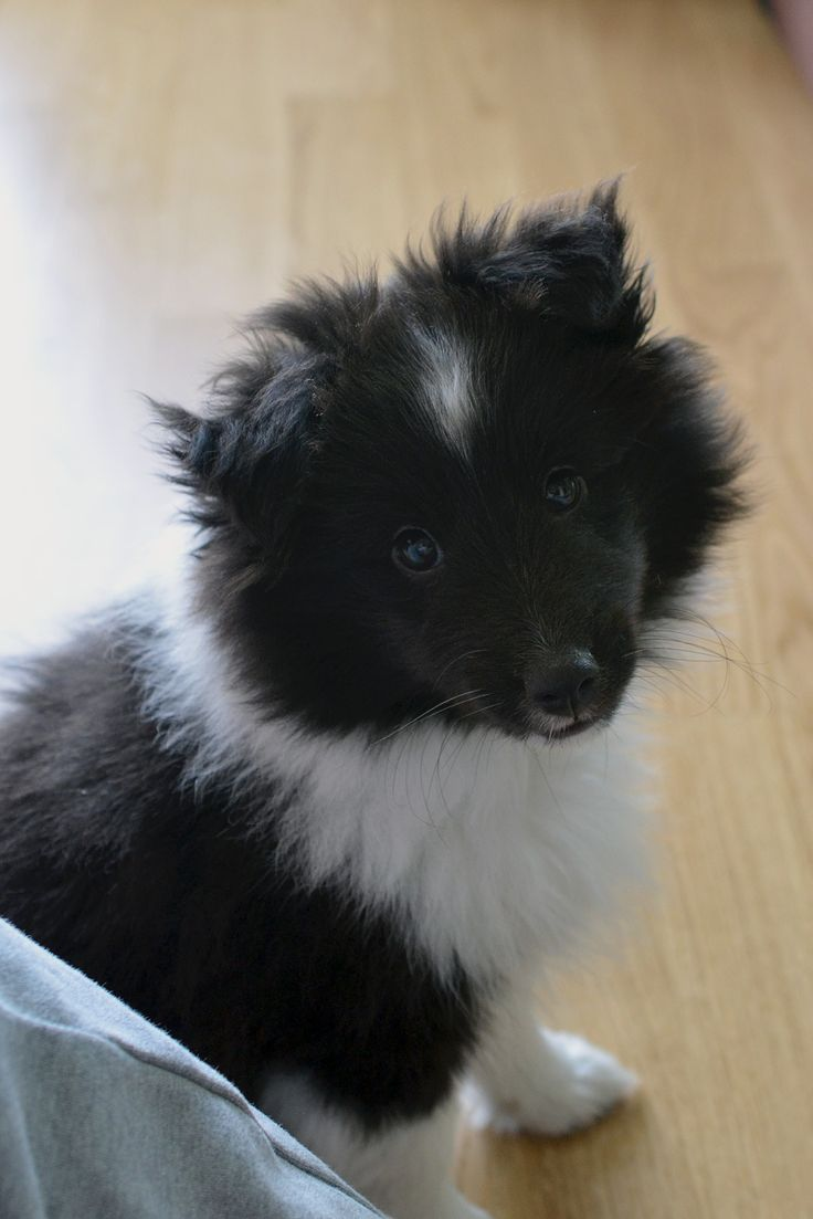 How could anyone resist this face? Bi Black Sheltie