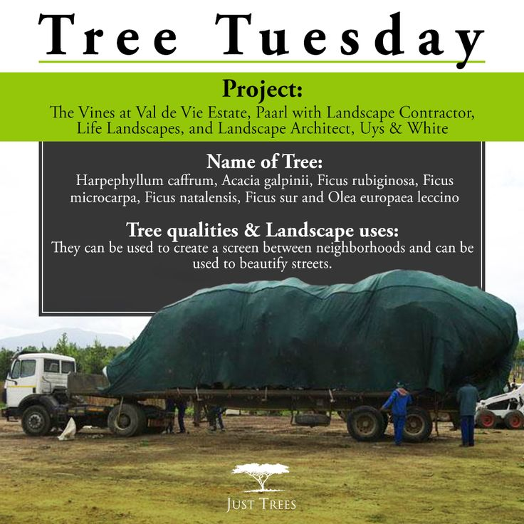 It's #TreeTuesday time and we're looking at a recent project we worked on with Landscape Contractor, Life Landscapes, and Landscape Architect, Uys & White, at Val de Vie Estate in Paarl.  We were chosen to provide the trees for Val de Vie's latest development - The Vines. We supplied 44 x 1000L of the following species: Harpephyllum caffrum, Acacia galpinii, Ficus rubiginosa, Ficus microcarpa, Ficus natalensis, Ficus sur and Olea europaea leccino.