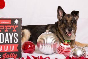 German Shepherd Dog dog for Adoption in Lithia, FL. ADN-427205 on PuppyFinder.com Gender: Female. Age: