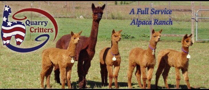 Alpacas for Sale & Alpaca Farm in Littlestown PA | Quarry Critters Alpaca Ranch  Also Sells fleece and yarn. Offers classes