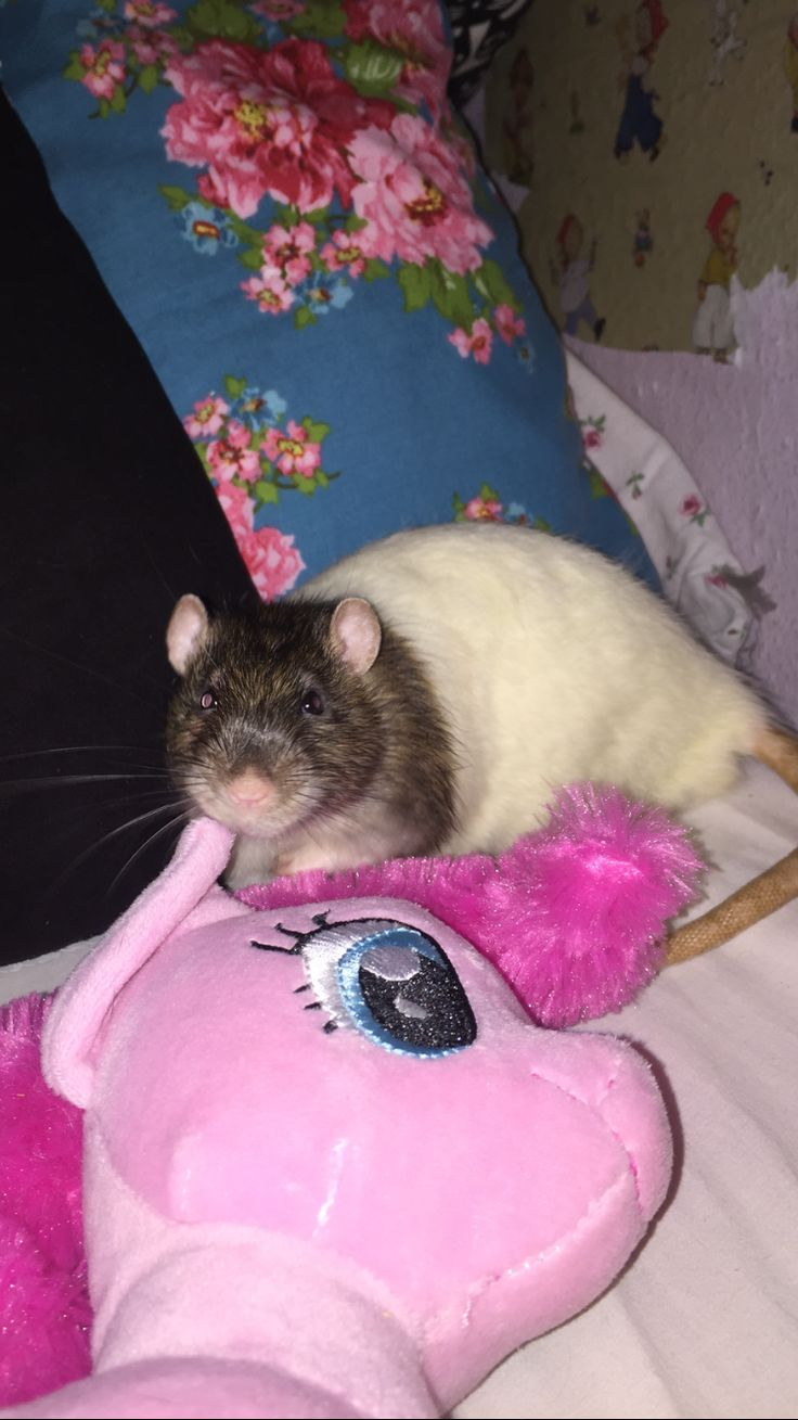 211 best ratties images on pinterest rats pet rats and rodents bean posing fandeluxe Choice Image