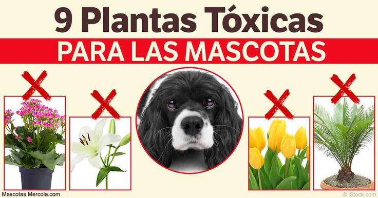 Sorprendentemente, algunas de estas plantas sumamente populares pueden tener efectos desastrosos en tu mascota http://mascotas.mercola.com/sitios/mascotas/archivo/2017/04/28/plantas-toxicas-para-las-mascotas.aspx?utm_source=mascotas&utm_medium=email&utm_content=art1&utm_campaign=20170428&et_cid=DM141516&et_rid=1985276137