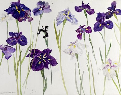 Irises, Elizabeth Blackadder 2010  I saw some of her work, years ago, at a show in London. Want!
