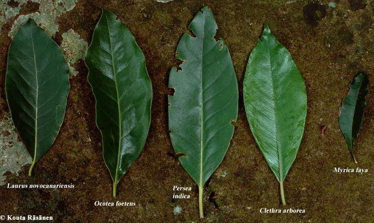 Billedresultat for ocotea foetens leaf